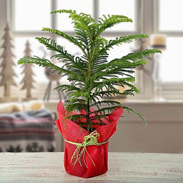 My Christmas Plant: Christmas Trees & Poinsettias