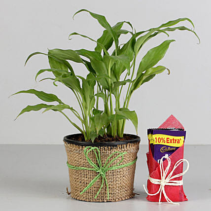Peace Lily Plant & Cadbury Dairy Milk Combo: Flowering Plants For Valentine's Day