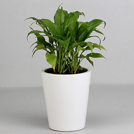 Peace Lily Plant in White Ceramic Pot: Flowering Plants