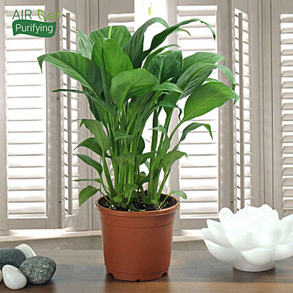 Peace Lily Plant: Flowering Plants