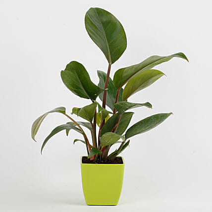 Philodendron Red Plant in Imported Plastic Pot: Air Purifying Plants