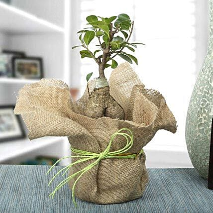 Picturesque Ficus Ginseng Bonsai Plant: Gifts for Dussehra