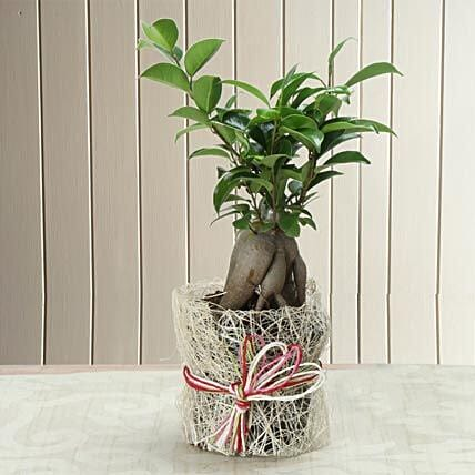 Potted Ficus Bonsai Plant: Send Gifts for Dussehra