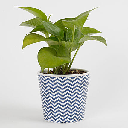 Refreshing Green Money Plant: Money Tree