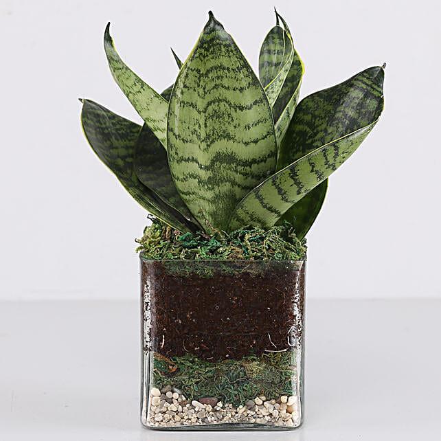 "Sanseaveria Green Compacta Plant 3"" Glass Terrarium: Terrariums Plants"