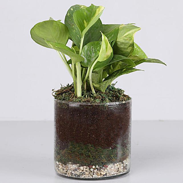 """Scindapsus Gold Plant 4"""" Glass Terrarium:"""