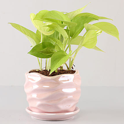 Scindapsus Golden In Pearl Pink Wave Planter: Buy Indoor Plants
