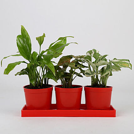 Set of 3 Foliage Plants in Red Pots: