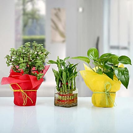 Set of 3 Good Luck Plants: Home Decor