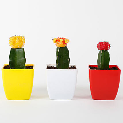 Set of 3 Grafted Cactus Plants: Succulents and Cactus Plants