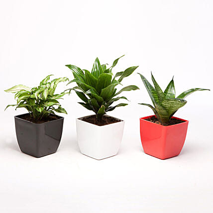 Set Of 3 Green Foliage Plants: Plants Delivery