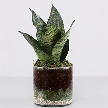"Snake Plant 4"" Glass Terrarium: Ornamental Plants"