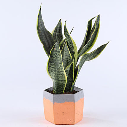 Snakeskin Plant In Hexa Concrete Pot: Succulents and Cactus Plants