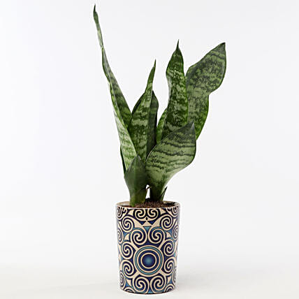 Snakeskin Sansevieria In Blue Ceramic Pot: Gifts to India
