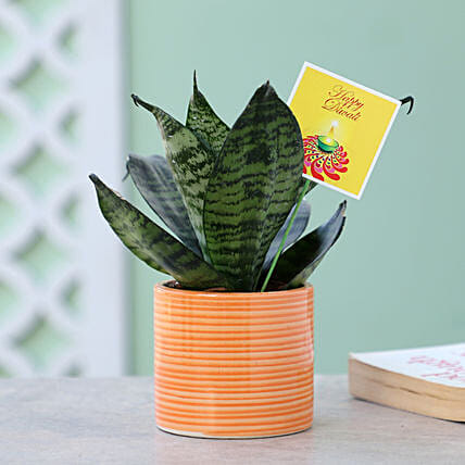 Snakeskin Sansevieria Plant Yellow Pot: Succulents and Cactus Plants