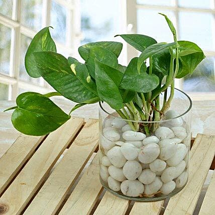 Spendid Money Plant Terrarium: