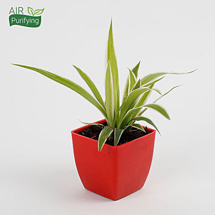 Spider Plant in Imported Plastic Pot: Air Purifying Plants