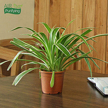 Spider Plant: Air Purifying Plants