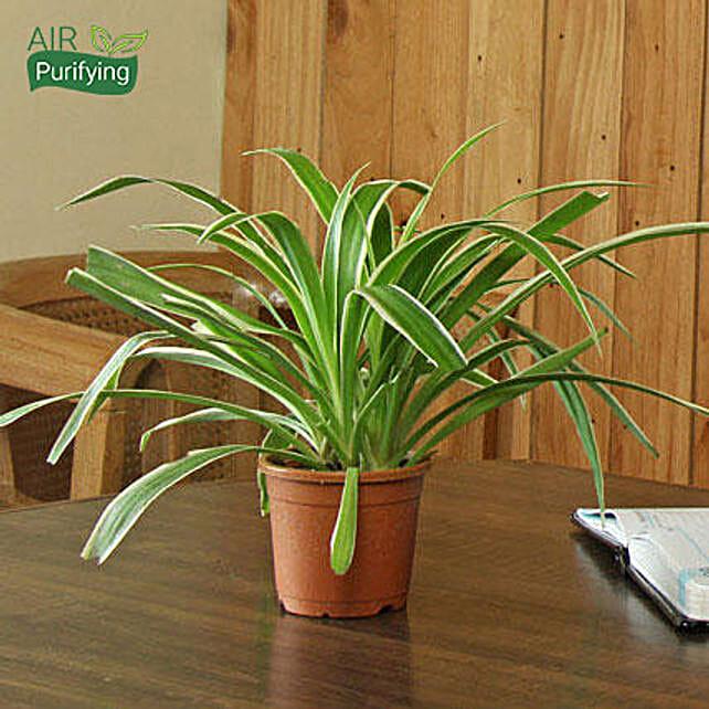 Spider Plant: Desktop Plants