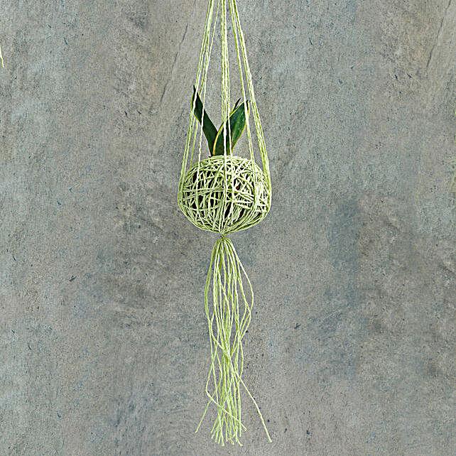 Splendid MILT Sansevieria Hanging Plant: Hanging Plants