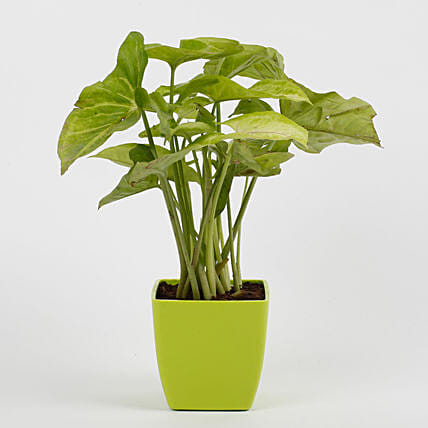 Syngonium Green Plant in Imported Plastic Pot: Good Luck Plants