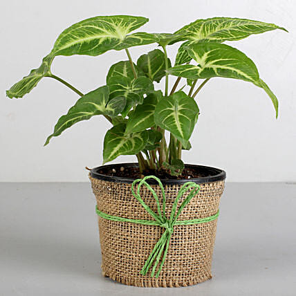 Syngonium Plant in Black Plastic Pot: Tropical Plant Gifts