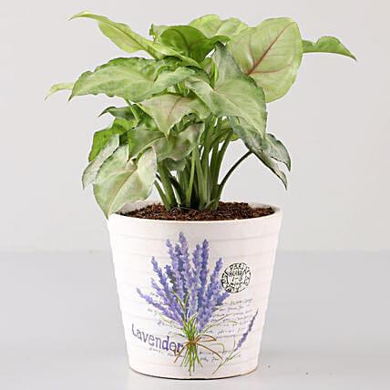 Syngonium Plant In Lavender Découpage Planter: Buy Indoor Plants