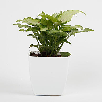 Syngonium White Plant in Imported Plastic Pot: Indoor Plants