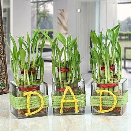 Three Lucky Bamboo Plants For Dad: Buy Indoor Plants