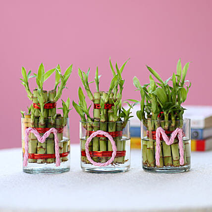 Three Lucky Bamboo Plants For Mom