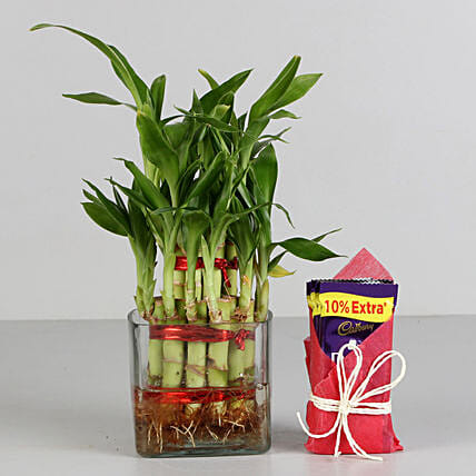 Two Layer Bamboo Plant & Cadbury Dairy Milk Chocolates: Combo Gifts