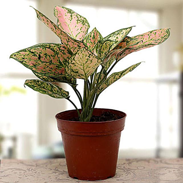 Aglaonema plant: Ornamental Plant Gifts