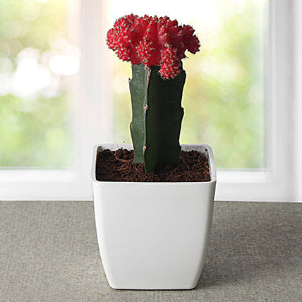 Bring Your Moon Cactus Plant: Exotic Plants
