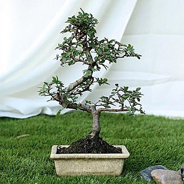 Fashionable Ulmus S Shape Bonsai Plant: Rare Plant Gifts