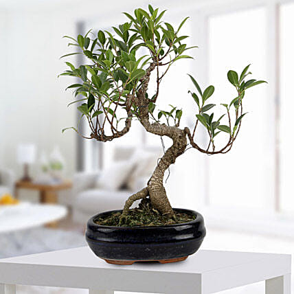 Gorgeous Ficus S shaped Plant: Gifts for 75Th Anniversary