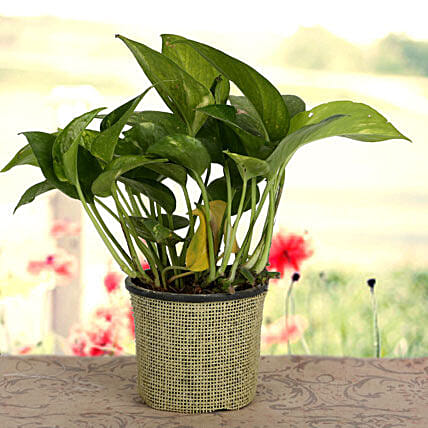 Growing 24x7 Money Plant: Spiritual and Vastu Plants