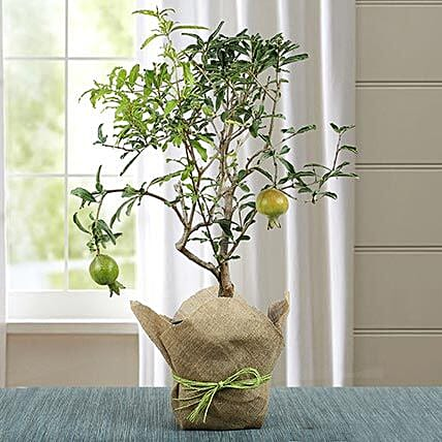 Lovely Bonsai Pomegranate Plant: Cactus and Succulents Plants