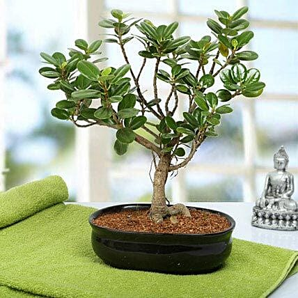 Lovely Ficus Iceland Bonsai Plant: Gifts for 25Th Anniversary