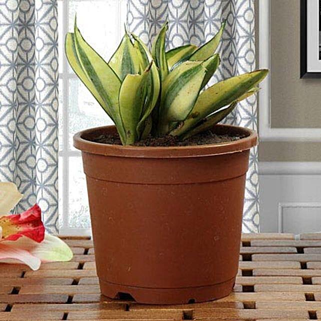 Lush Green Sansevieria Plant: House Warming