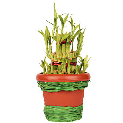 Pot Of Luck: Lucky Bamboo Bengaluru