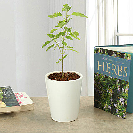Potted Tulsi Plant: Ornamental Plant Gifts