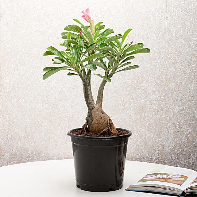 Adenium Desert Rose: Home Decor to Ghaziabad