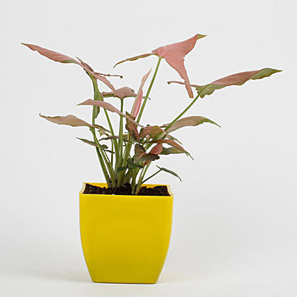 Syngonium Pink Plant in Imported Plastic Pot: Tropical Plant Gifts