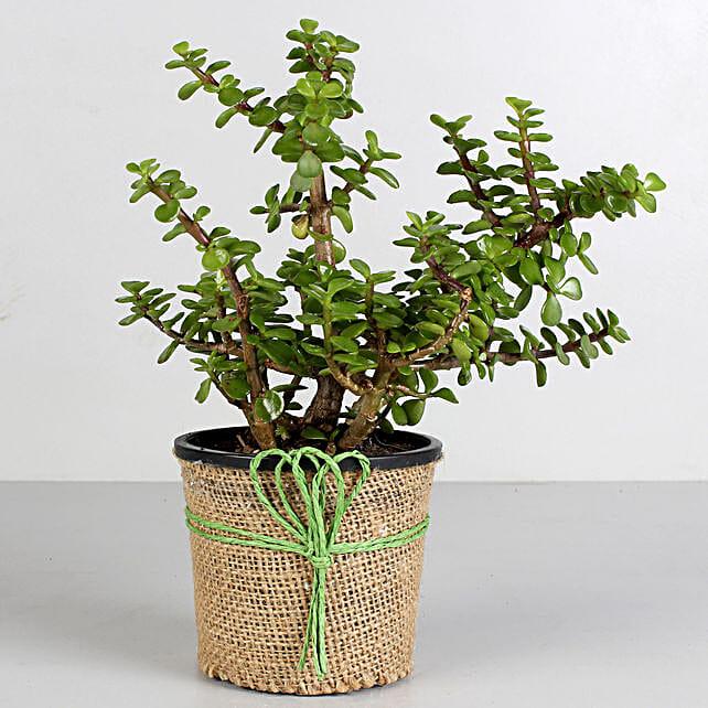Jade Plant in Black Plastic Pot: Plants For Bathroom