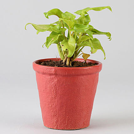 Xanadu Plant In Red Ceramic Pot: