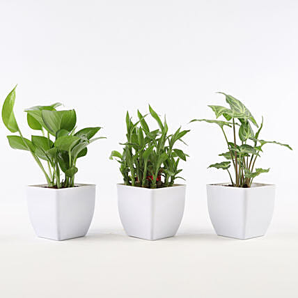 Set of Foliage & Bamboo Plants In White Pot: Bedroom Plants