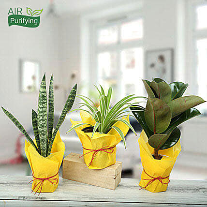 Live Green Trio Plants: Plants For Terrace and Balcony