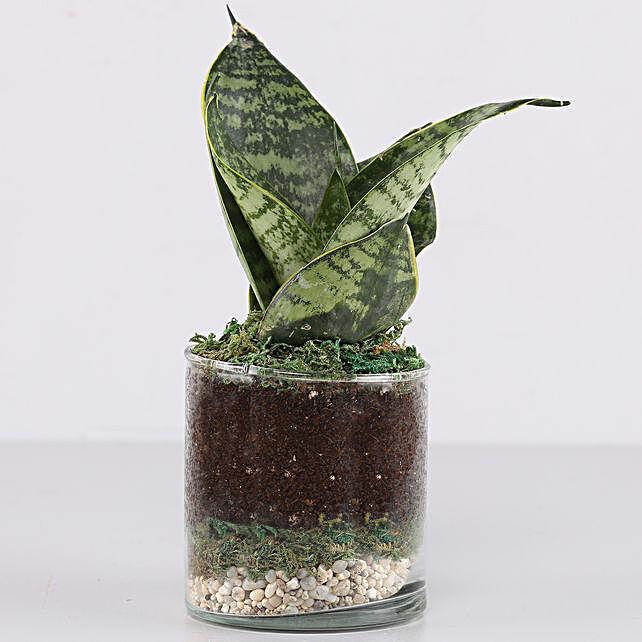 """Snake Plant 3"""" Glass Terrarium: Terrariums Plants"""