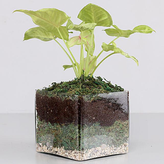"""Syngonium Plant 4"""" Glass Terrarium:"""