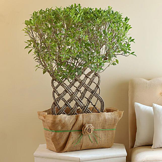 Ficus Crache Bonsai Plant: Bonsai Plants